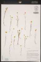 Lasthenia gracilis image