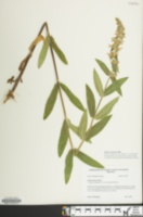 Image of Stachys arenicola
