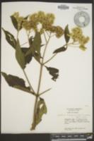 Image of Eupatorium inulifolium