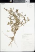 Phyllanthus debilis image