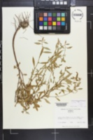 Lythrum curtissii image