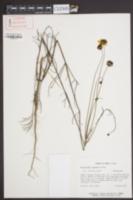 Image of Thelesperma nuecense