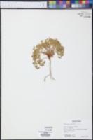 Euphorbia fendleri image
