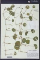 Hydrocotyle verticillata image