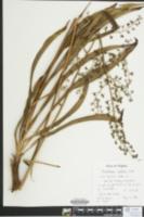 Veratrum hybridum image