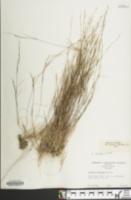 Aristida longespica image