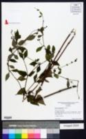 Image of Salvia chapmanii
