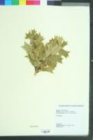 Ilex cornuta image