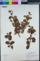 Ribes viburnifolium image