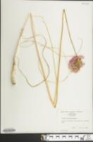 Image of Allium sphaerocephalum