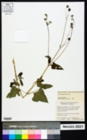 Simsia lagasceiformis image