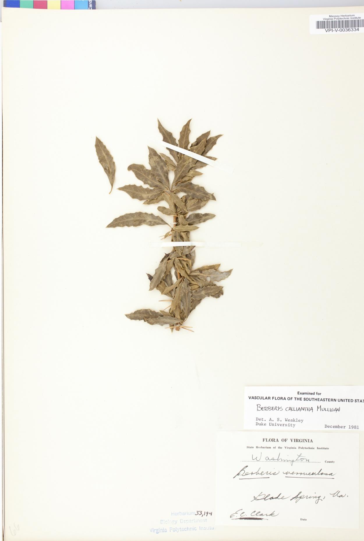 Berberis calliantha image