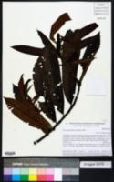 Virola guatemalensis image