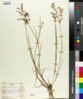 Juncus richardsonianus image