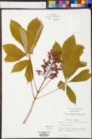 Aesculus pavia image