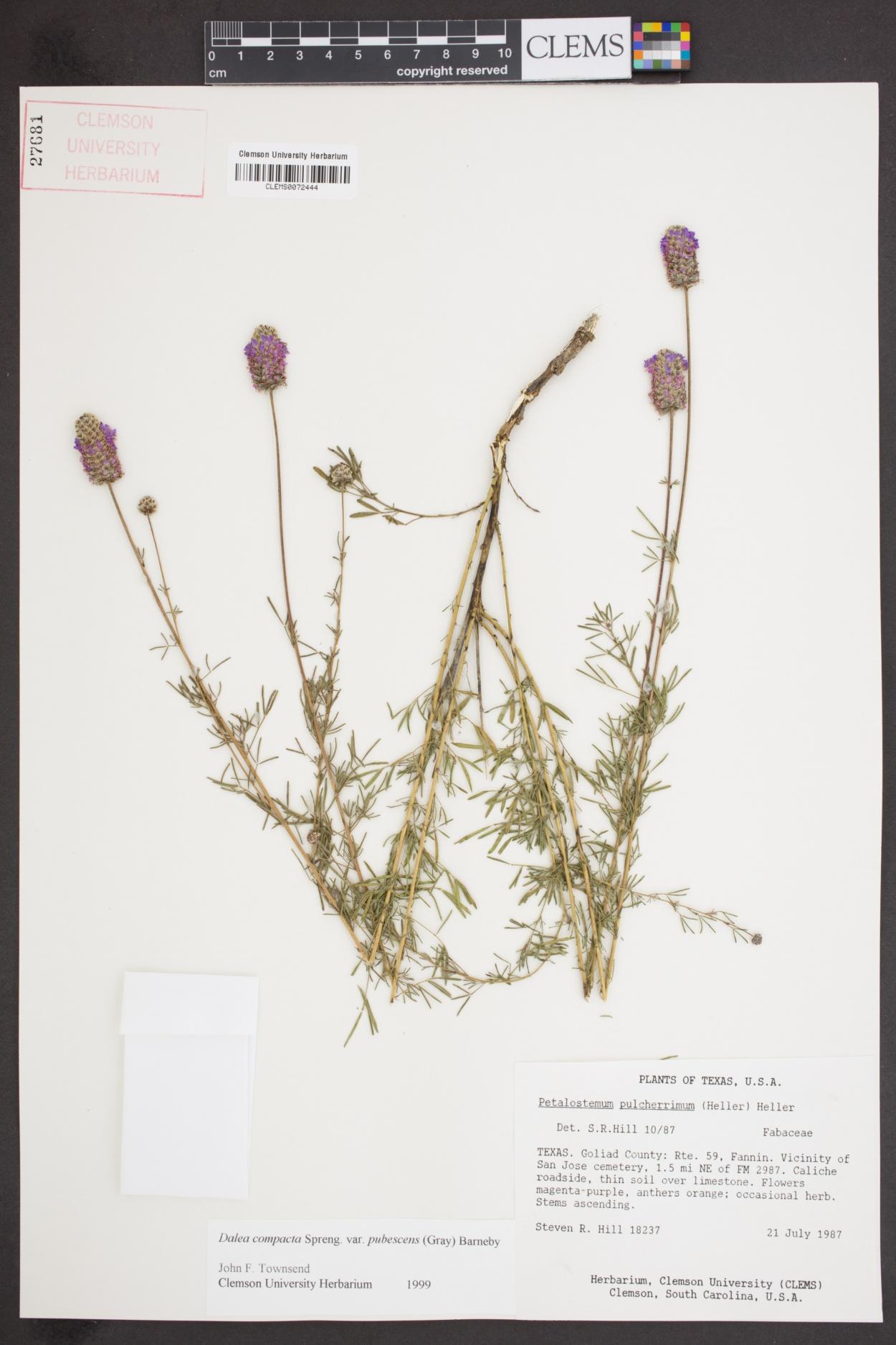 Dalea compacta var. pubescens image