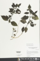 Ruellia erythropus image