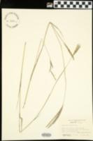 Andropogon gerardi image