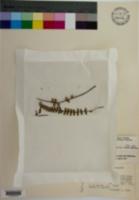 Asplenium monanthes image