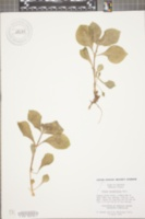 Silene rotundifolia image