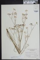 Image of Ptilimnium fluviatile