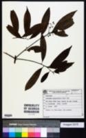 Nectandra megapotamica image