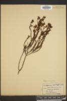 Hypericum aspalathoides image