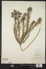 Euphorbia cyparissias image