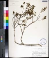 Image of Clinopodium coccineum