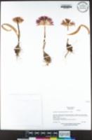 Allium falcifolium image