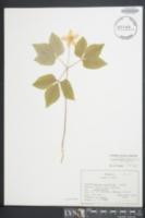 Anemone lancifolia image