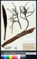 Image of Livistona chinensis