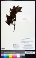 Acer barbinerve image