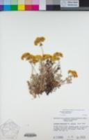 Eriogonum umbellatum var. covillei image