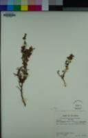 Acmispon dendroideus var. dendroideus image