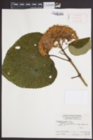 Clerodendrum bungei image