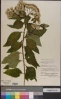 Image of Baccharoides bracteosa