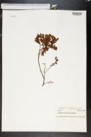 Ascyrum edisonianum image