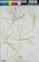 Chloris verticillata image