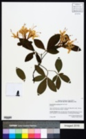 Image of Rhododendron eastmanii