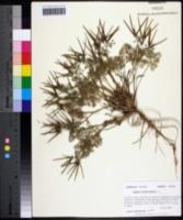 Scandix pecten-veneris image