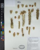 Cylindropuntia californica var. californica image