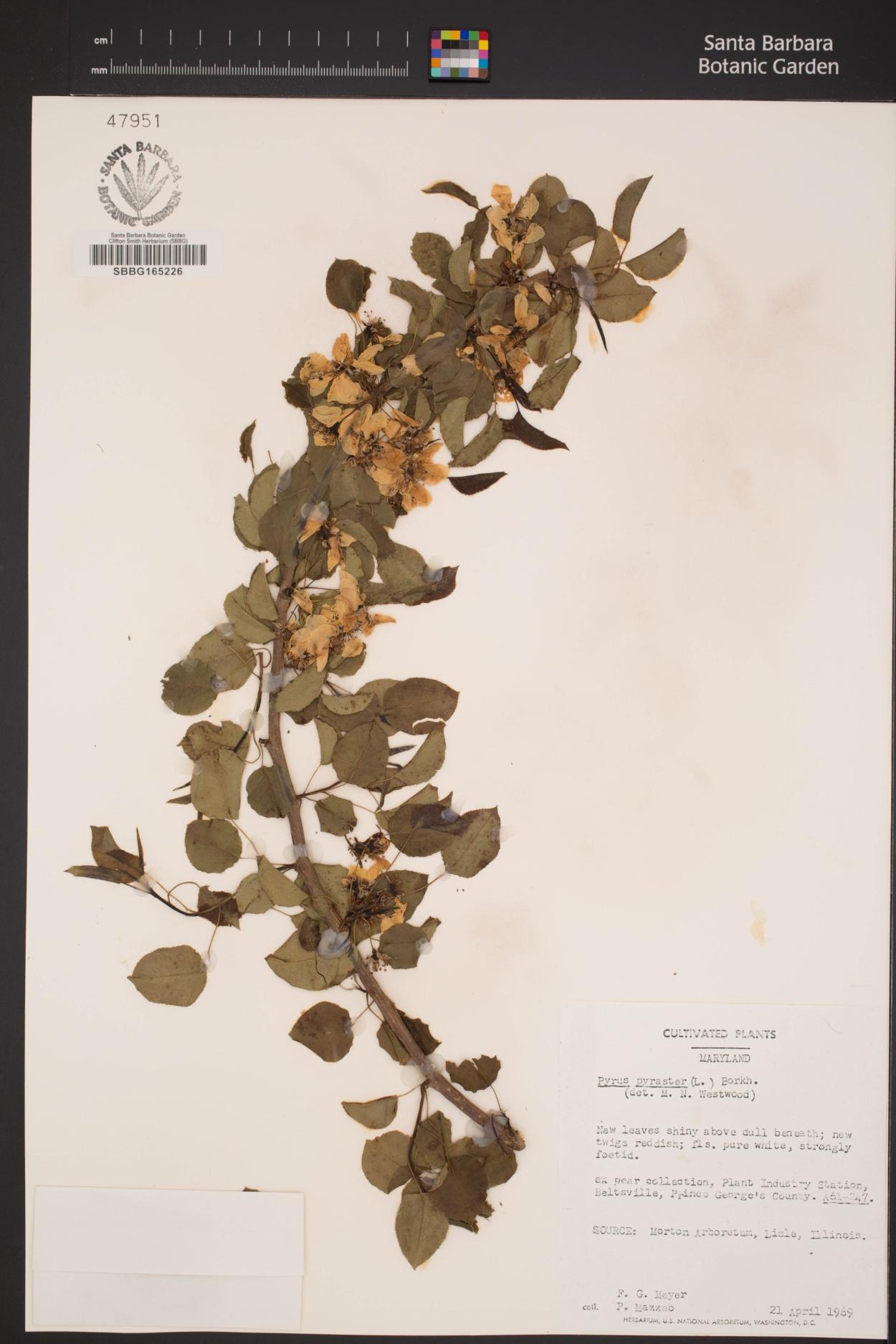 Pyrus pyraster image
