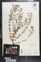 Hypericum punctatum var. pseudomaculatum image