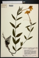 Image of Ruellia noctiflora