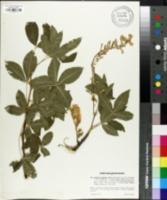Laburnum alpinum image