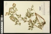 Osmorhiza longistylis image