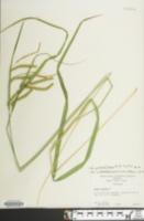 Carex mitchelliana image