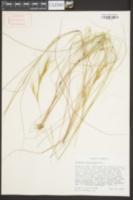 Aristida tuberculosa image