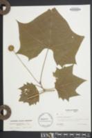 Platanus occidentalis var. glabrata image